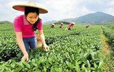 四川青川镇春茶进入采摘期 茶农茶商纷纷抢抓市场先机