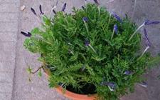7种常见盆栽香草植物的养护方法介绍!净化空气保健康