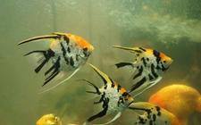神仙鱼染上疾病怎么办?神仙鱼常见疾病的病症与防治
