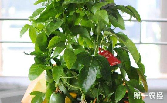 盆栽百香果怎么种植才好?盆栽百香果的播种方法和养护要点