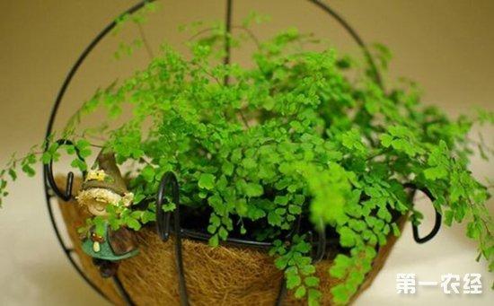 盆栽铁线蕨怎么养才好?铁线蕨的繁殖要点和养殖方法