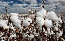<b>棉花净出口国巴基斯丹将采取措施提高棉花种植面积和产量</b>