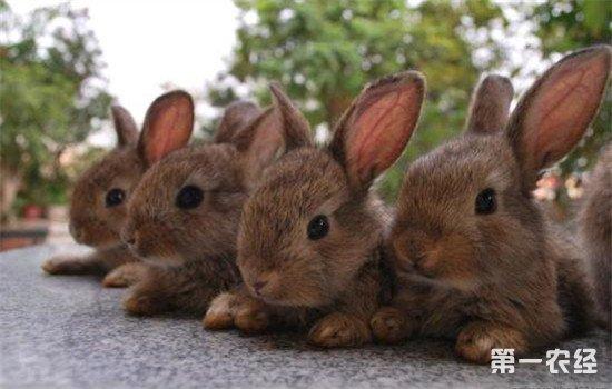 健康的兔子