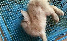 兔子中毒怎么抢救?兔子中毒的症状和解救方法