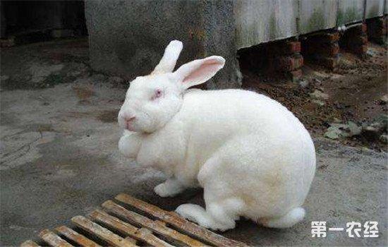 被寄生虫困扰的兔子