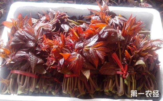 湖南长沙时令蔬菜上市 香椿身价一周跌七成