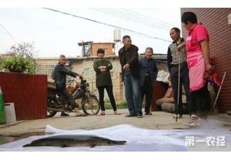 """惊!福建村民发现一只形似鳄鱼的""""怪鱼"""""""