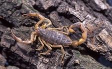 蝎子染上疾病怎么办?蝎子常见疾病的病症与防治