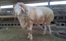 小尾寒羊炭疽病该如何防治?小尾寒羊炭疽病的诊断与防治