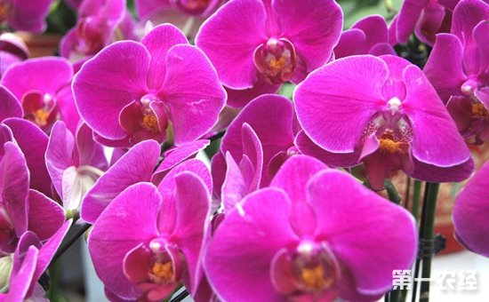 蝴蝶兰怎么养才好?蝴蝶兰的繁殖要点和养殖方法
