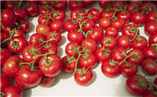 番茄为什么不好吃了?可能是转基因的锅