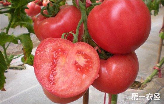 番茄不好吃了
