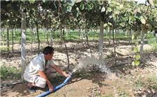 猕猴桃种植技术:猕猴桃浇水注意事项