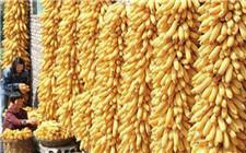 玉米种植各阶段病虫害防治要领