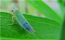 <b>种植甘草会遇见哪些虫害?甘草虫害防治方法</b>