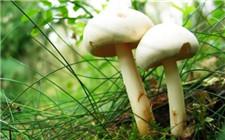双孢菇褐腐病的症状及解决方法