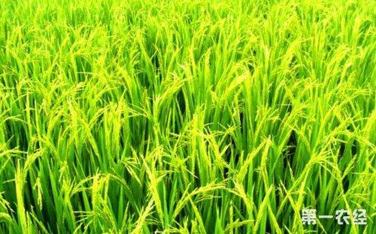 2018年黑龙江调减水稻种植面积 水稻休耕试点每亩补助500元
