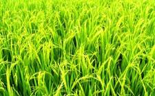 <b>2018年黑龙江调减水稻种植面积 水稻休耕试点每亩补助500元</b>