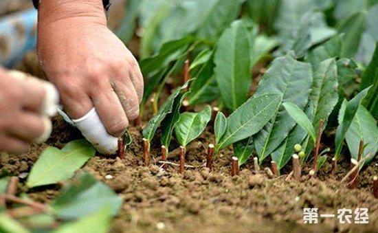 春季扦插不生根?生根剂的家庭自制方法介绍!