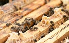 <b>中华蜜蜂巢虫病怎么防治?中蜂巢虫病的综合防治措施</b>