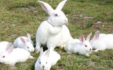 兔子拉稀怎么办?兔子拉稀的症状与治疗方法