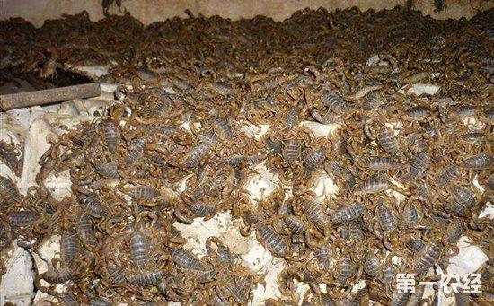如何养殖蝎子才好?蝎子养殖的九个技巧介绍!