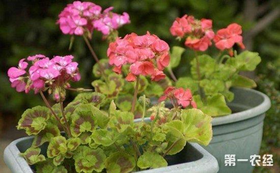 这些盆栽植物非常适合摆在阳台!一开窗芳香扑鼻