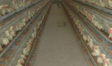 <b>新西兰主要大型超市联合停止销售笼养蛋鸡</b>