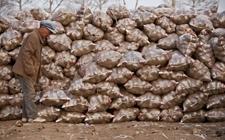 """急需帮助!晋江上方村90后新农民200多亩马铃薯""""遇冷""""滞销"""