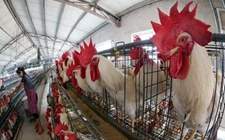 核事故带来新机遇——日本养鸡场鸡粪发电足供万户