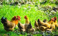 重庆小伙2万块回乡养鸡 将荒地变成美丽生态农场