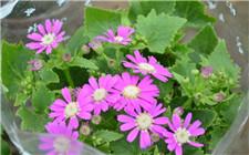 瓜叶菊常见虫害及其防治方法