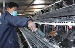 丁心启养殖五黑鸡带着全村发家致富打算扩大养殖规模