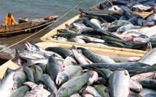 <b>俄罗斯解除日本六县水产品部分禁令 日本有望恢复水产品出口正常化</b>
