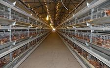 <b>湖北沙洋县:10亿元打造1000万只智能化蛋鸡场</b>