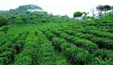 <b>80后返乡创业种茶带着2000名乡亲当茶农致富</b>