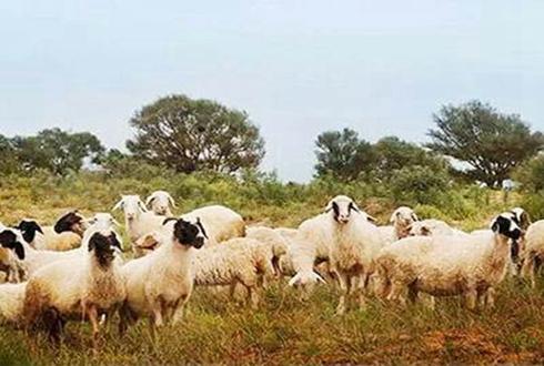 刘喜云:养羊致富生活从此喜洋洋