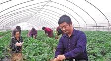 <b>草莓大棚种出年收入60万</b>