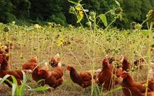 养鸡行业看点:集团养鸡VS小散养户