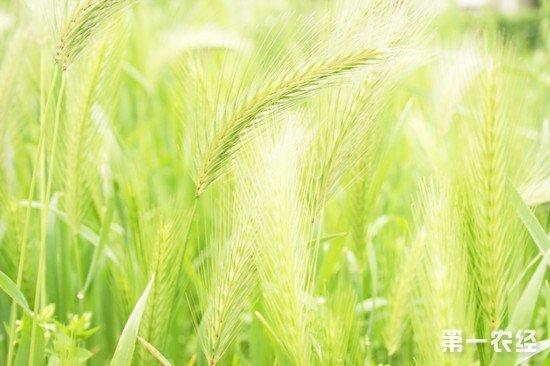 小麦绿色增产