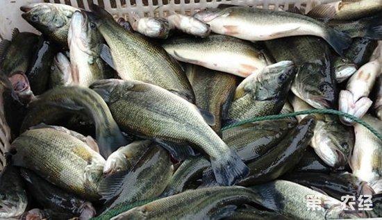 广东加州:鲈鱼进入产卵期 价格一斤暴涨1.6元