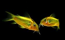 宠物鱼之南美水族:金光闪闪的金线鼠鱼欣赏