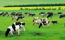 中国圣牧8年首亏损发布盈利警告 上游养殖业困难重重