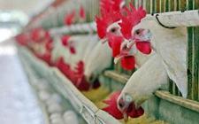 非洲:家禽养殖前景良好 但仍面临挑战