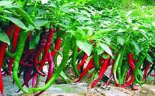麻江县:2018年辣椒产业发展实施方案已出 根据亩数对农户进行相应补助