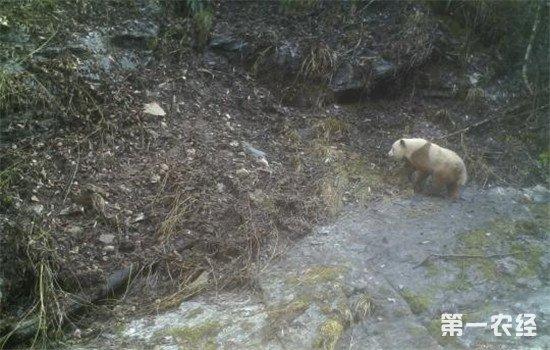 陕西现棕色大熊猫