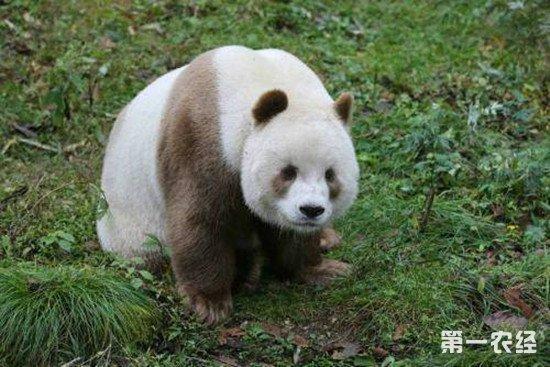 大熊猫变棕色的原因