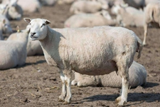 怀孕母羊腹压过导致阴道脱落怎么办?