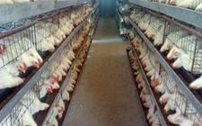 """山东东营:现代化养鸡设备让肉鸡住进""""星级""""房"""