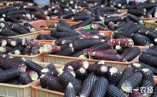 黑玉米多少钱一根?黑玉米价格